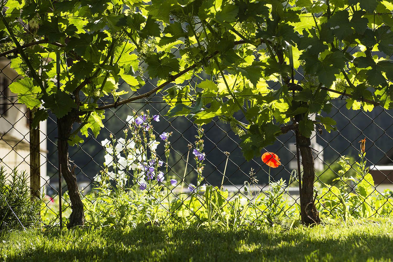 Weinbau Thomas Böhm Imst, Reben Cabernet Cortsi und Solaris, Garten Böhm Brennbichl Familie privat / Foto: Thomas Böhm Photographie Imst 2018 06 14 ( boehm )