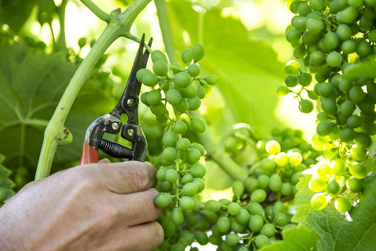 Arbeit im Weingarten: Trauben ausdünnen bzw. Trauben Teilen / Foto: Thomas Böhm Photographie Imst 2018