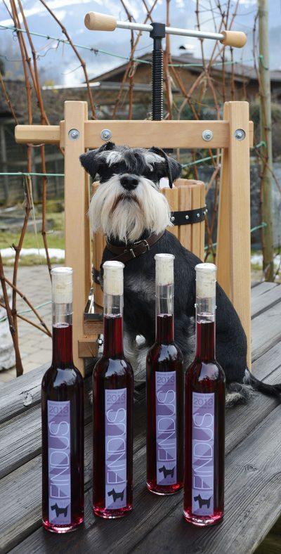 Namensgeber Fynn alias Findus, der Zwergschnauzer, zwischen etikettierten Flaschen und der Weinpresse - TT-Fotograf Thomas Böhm hat seinen ersten eigenen Wein gekeltert / Magazin Tirol TT Winzer  / Foto: Thomas Boehm 2014 01 20  CD387 ( böhm )